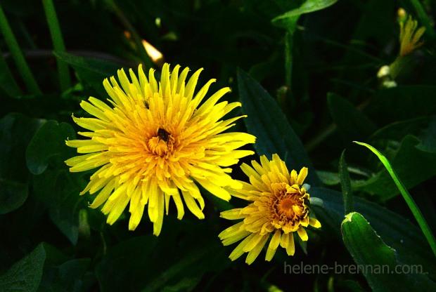 DSC_3056 dandelions