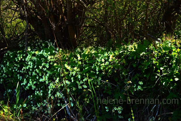 DSC_3059 primrose hedge