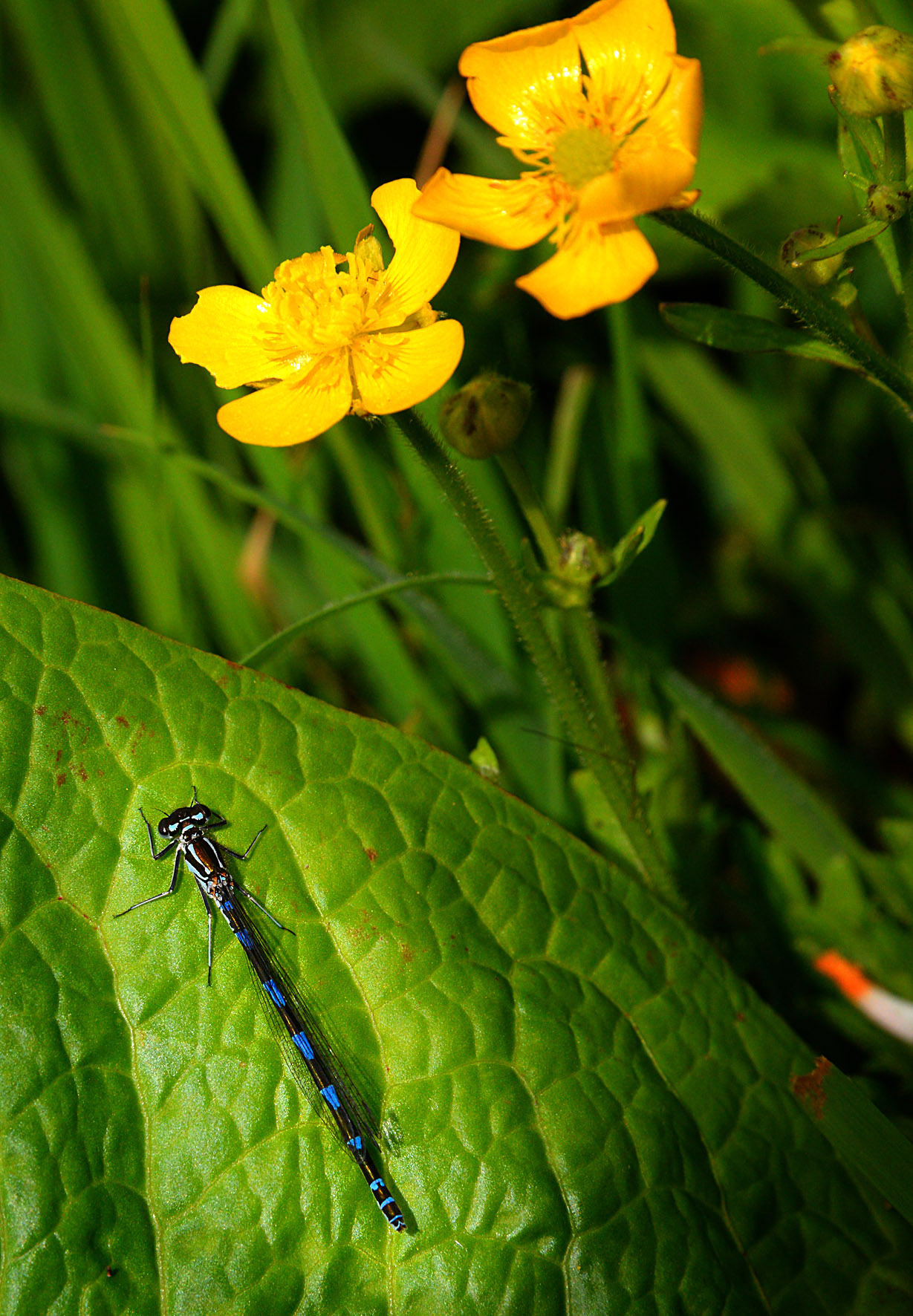 DSC_3108 dragon fly and buttercups