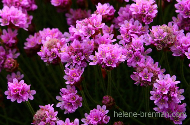 DSC_3210 thrift pinks
