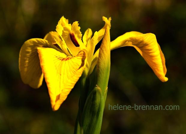 DSC_3235 iris
