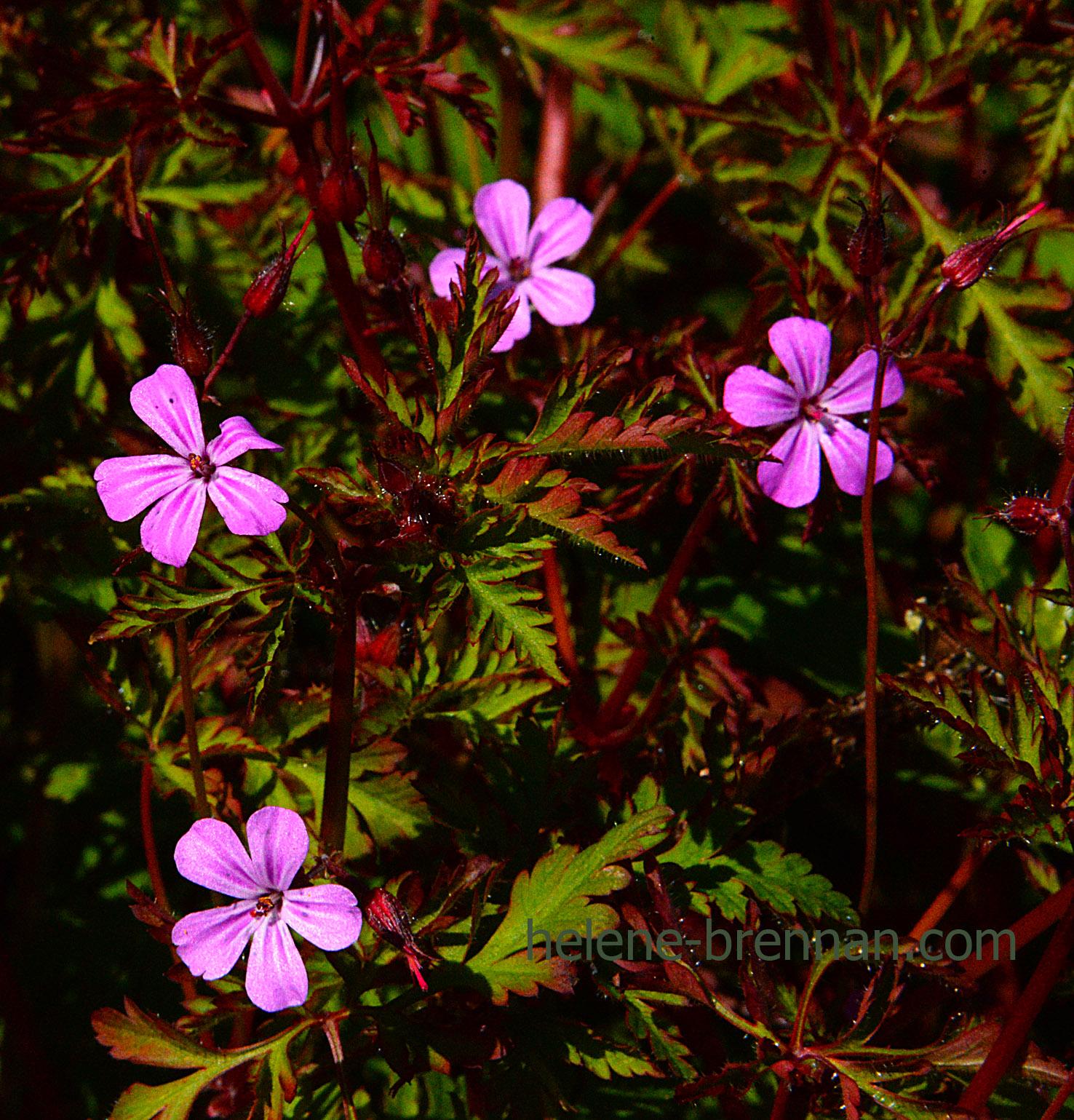 DSC_3259 herb robert