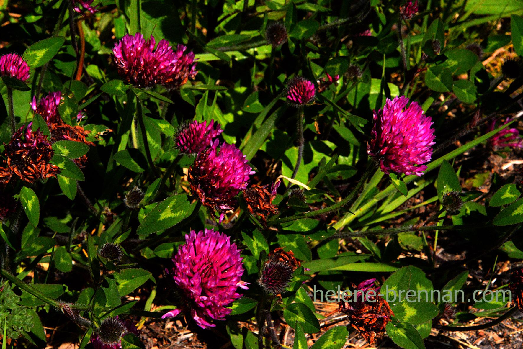 DSC_3268 red clover