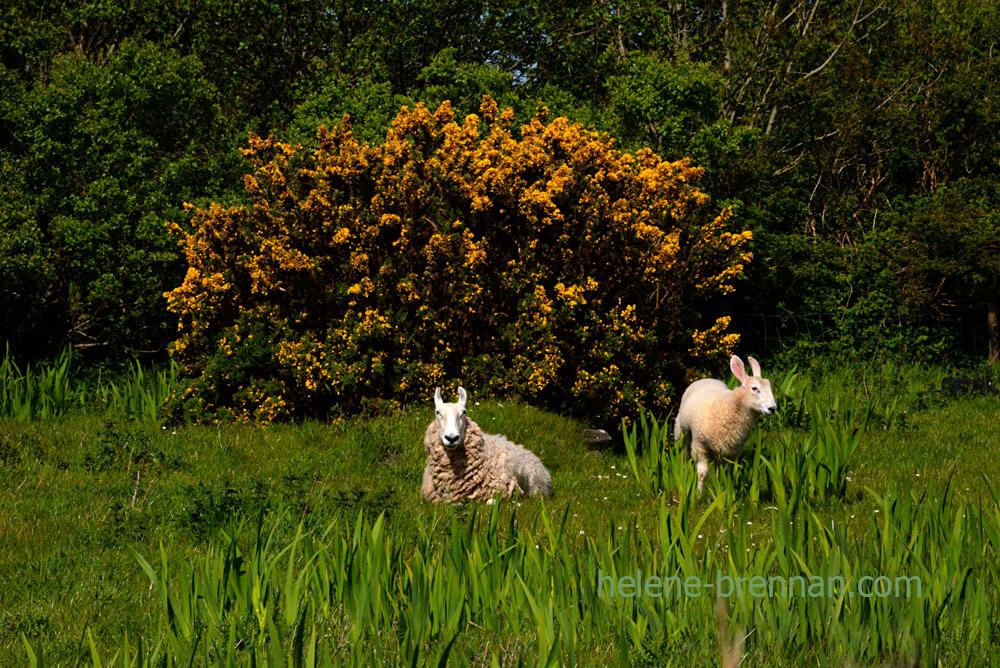 DSC_3269 sheep
