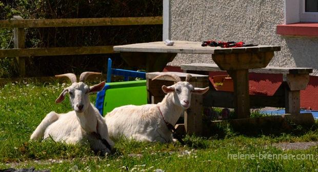 DSC_3336 goats 2