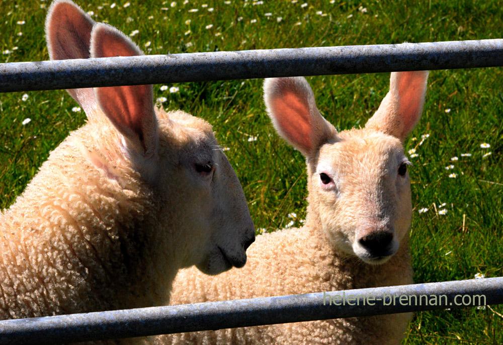 DSC_3341 long eared sheep