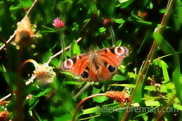 DSC_3347 butterfly