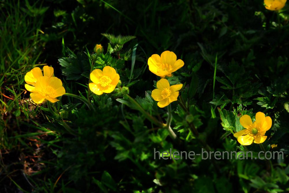 DSC_3354 buttercups