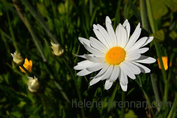 DSC_3419 daisy