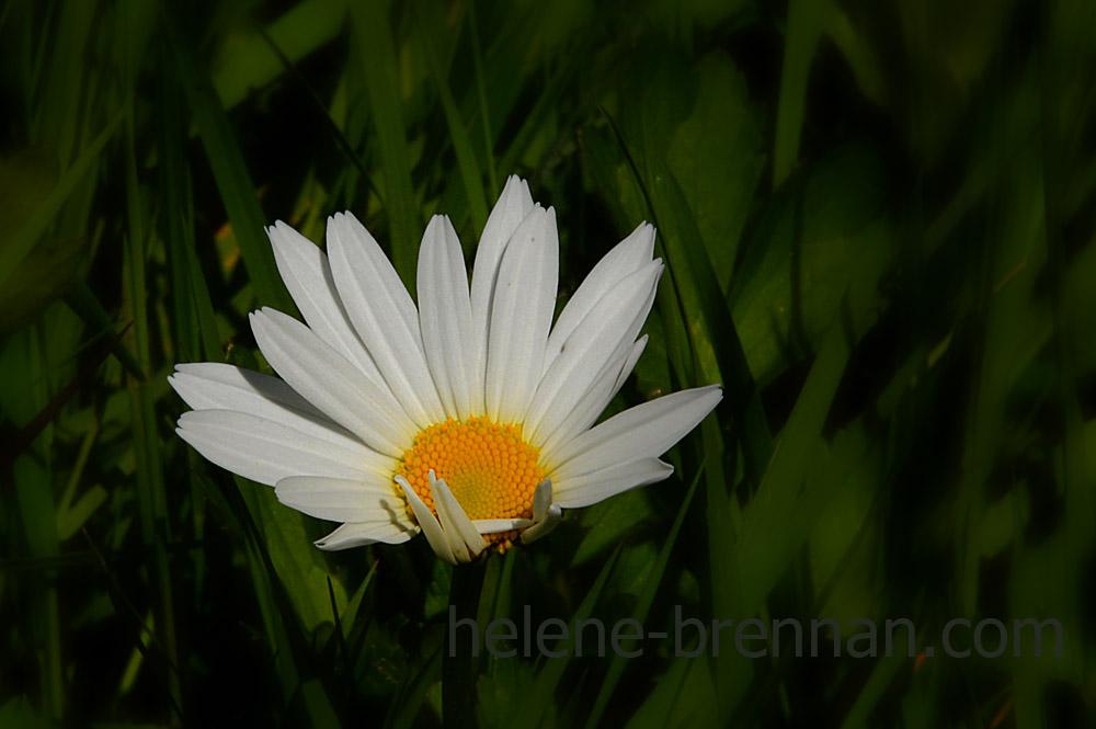 DSC_3423 daisy