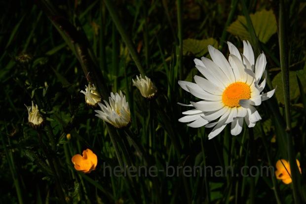 DSC_3476 daisies