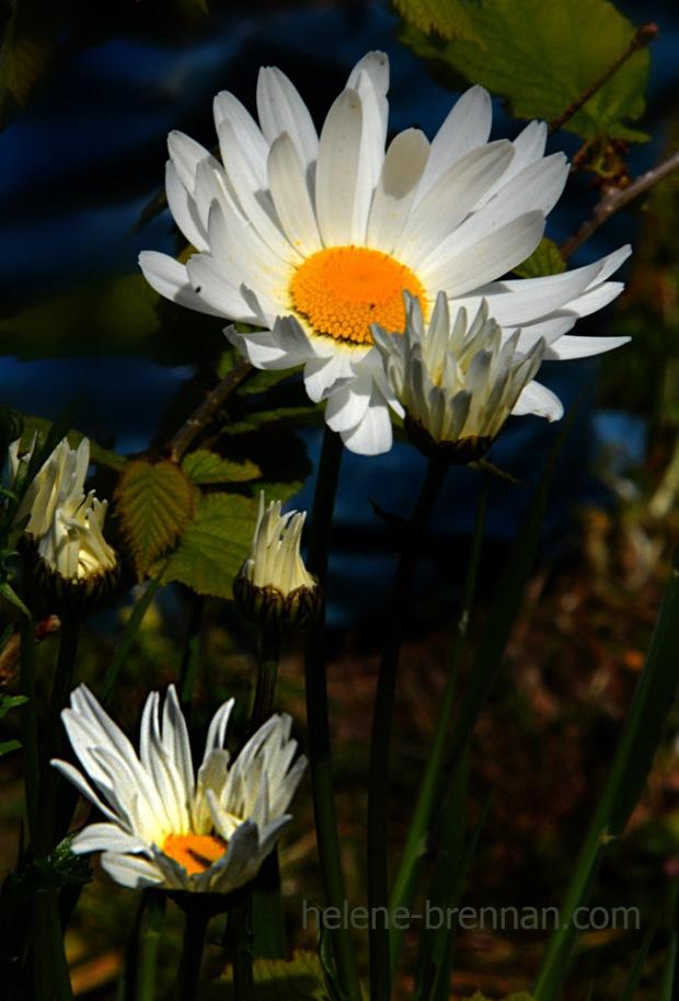 DSC_3482 2 daisies
