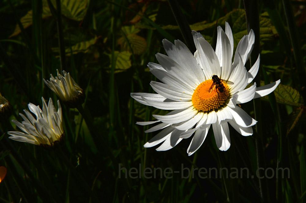 DSC_3489 daisies