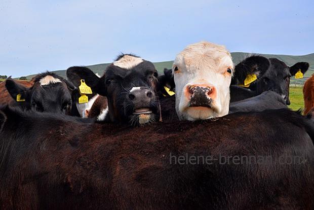 DSC_3571 cattle