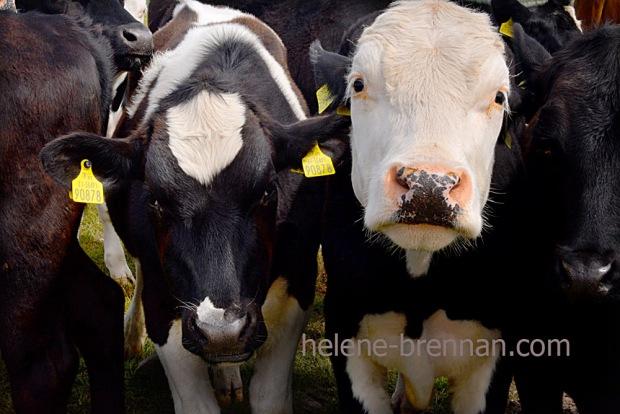 DSC_3574 cattle