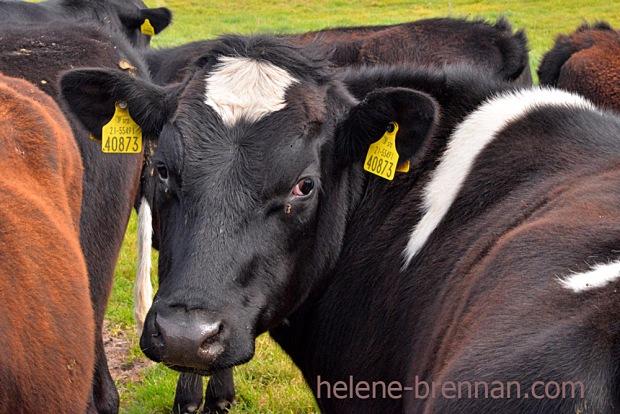 DSC_3585 cattle