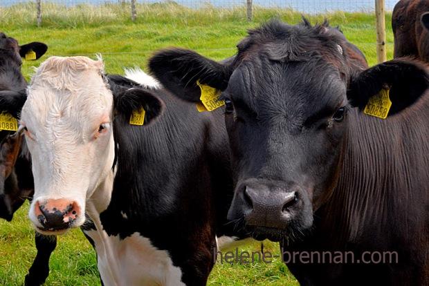 DSC_3586 cattle