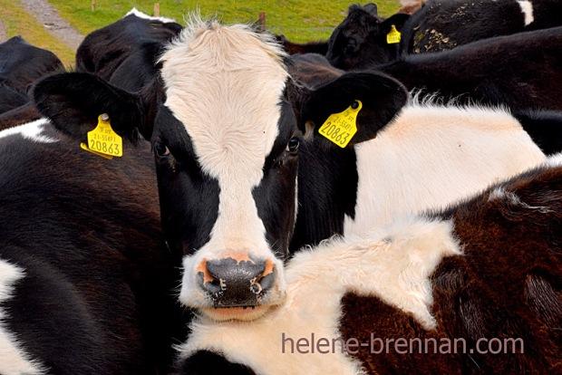 DSC_3589 cattle