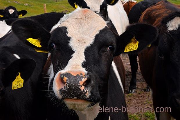 DSC_3590 cattle