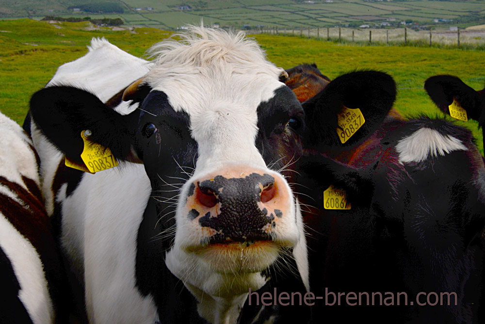 DSC_3595 cattle