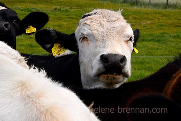 DSC_3598 cattle