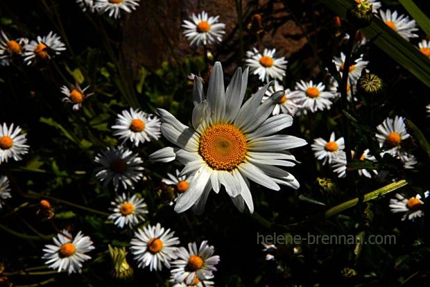 DSC_3780 daisies