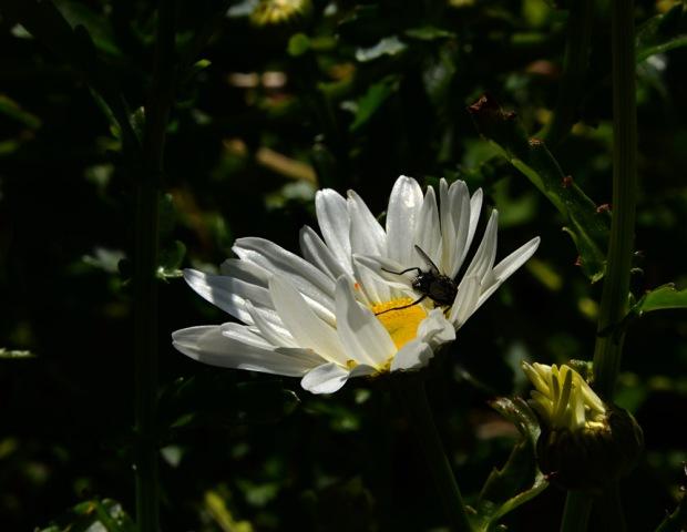 DSC_3788 daisy