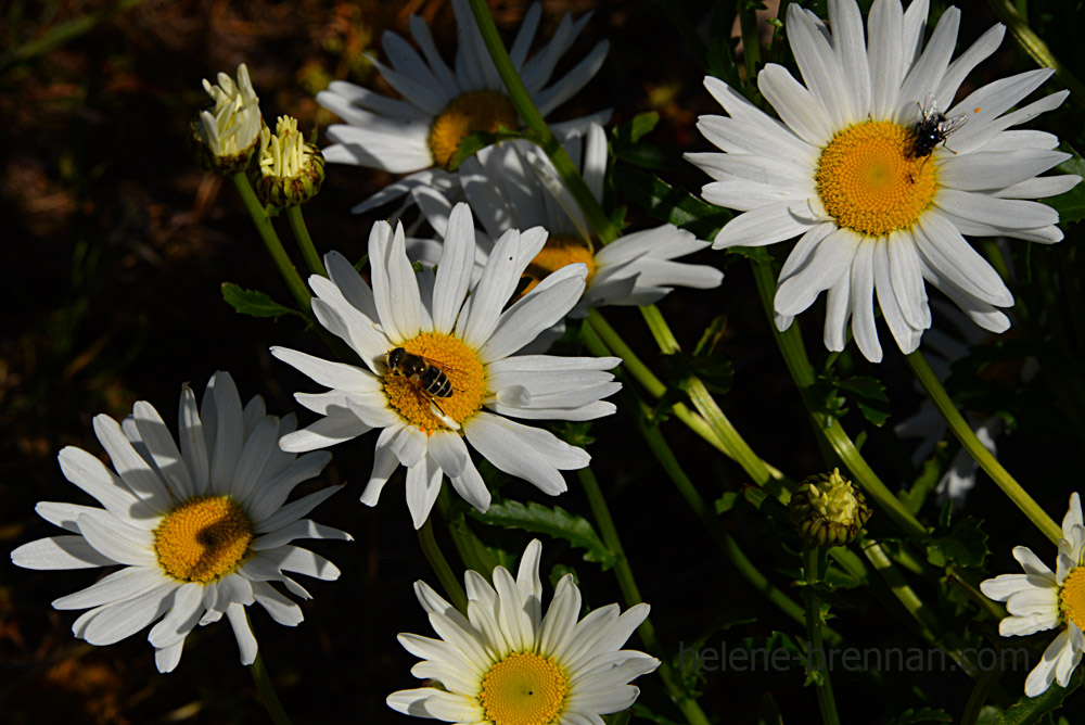 DSC_3802 daisies