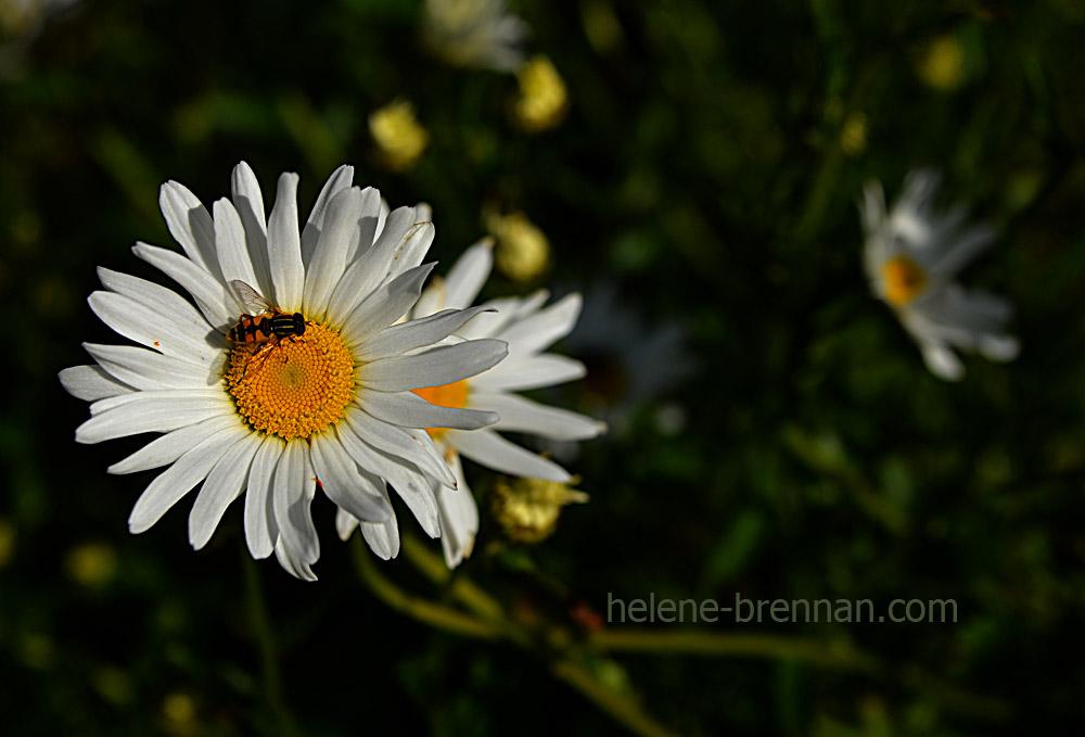 DSC_3807 daisies