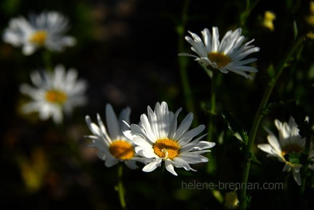 DSC_3811 daisies