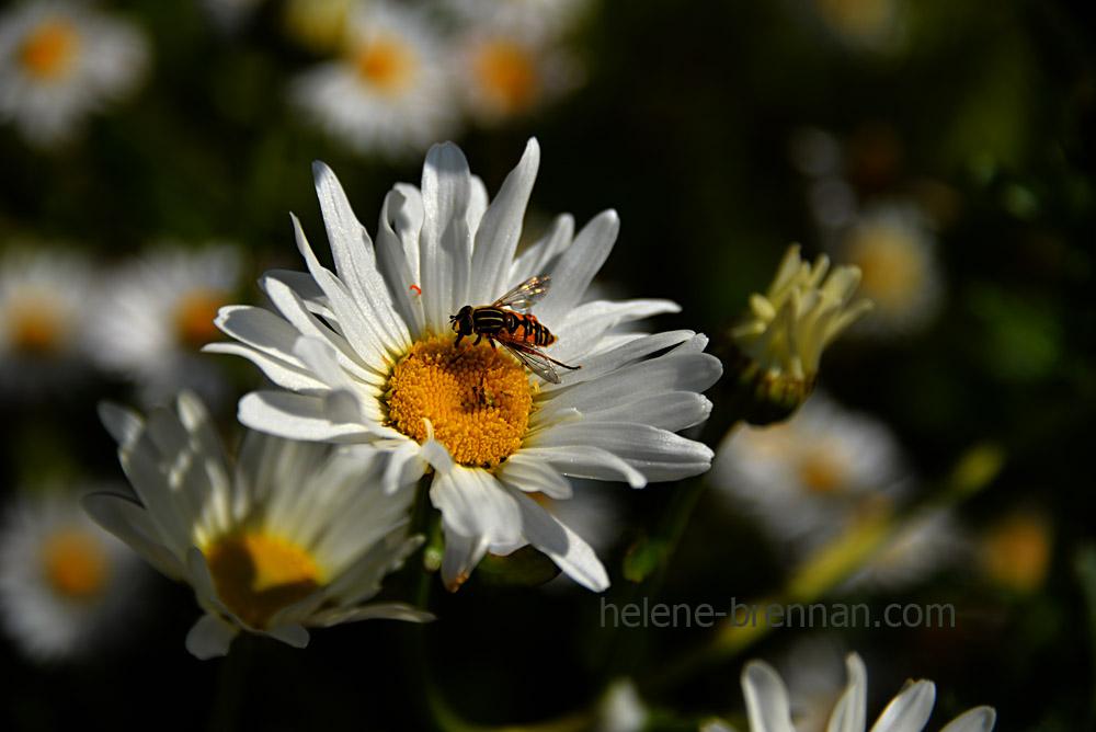 DSC_3814 daisies