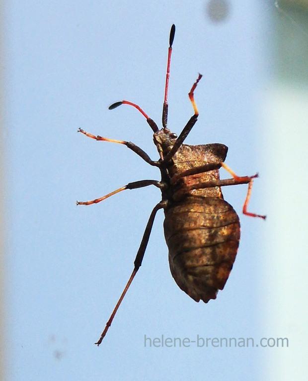 shield bug 121329