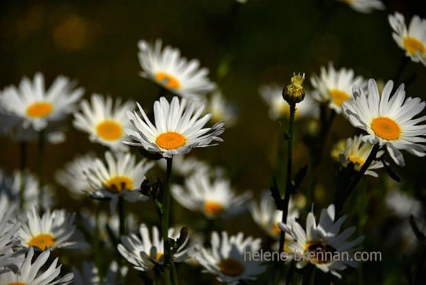 DSC_3858 daisies 2