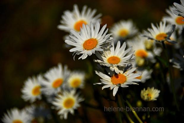 DSC_3862 daisies 2