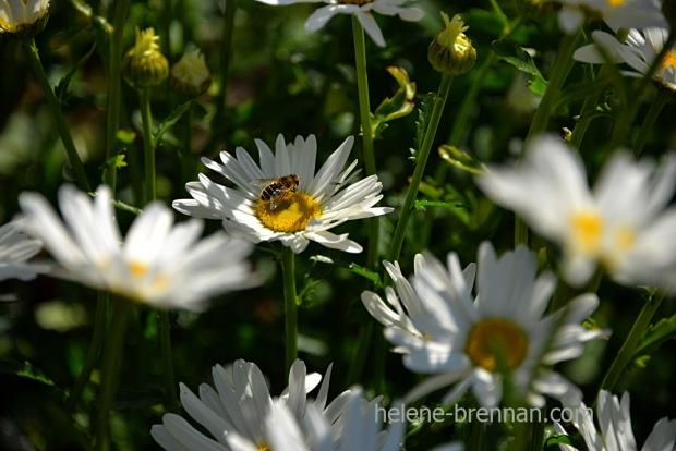 DSC_3867 daisies 2