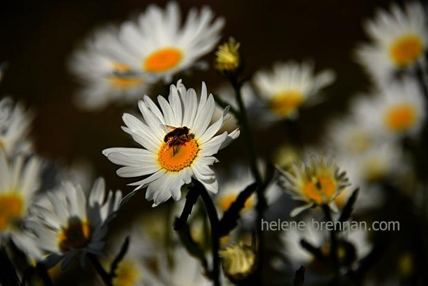 DSC_3870 -2 daisies