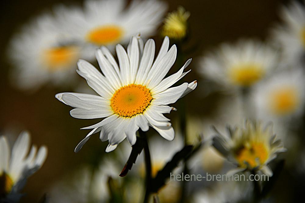 DSC_3871 daisies 2