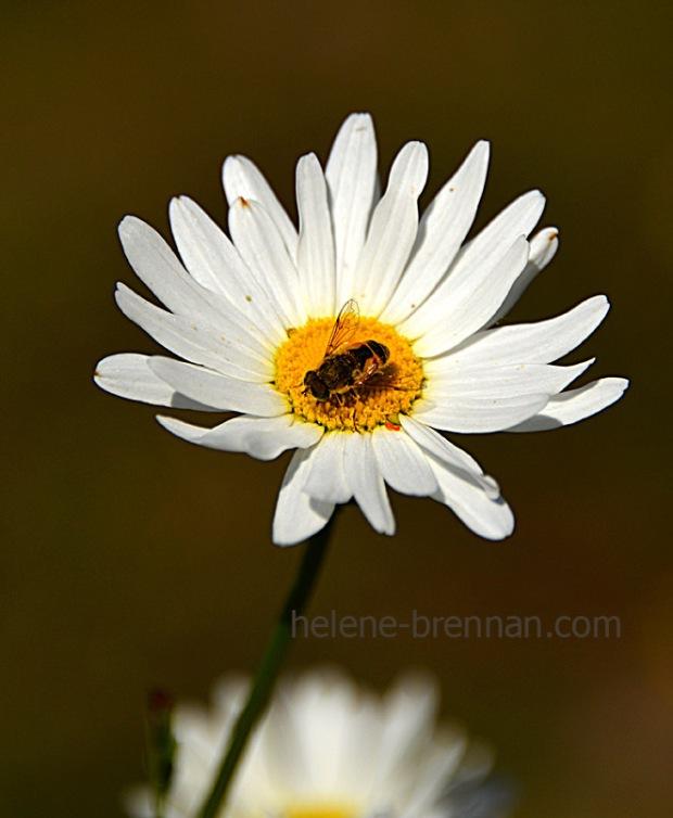 DSC_3873 daisy 2