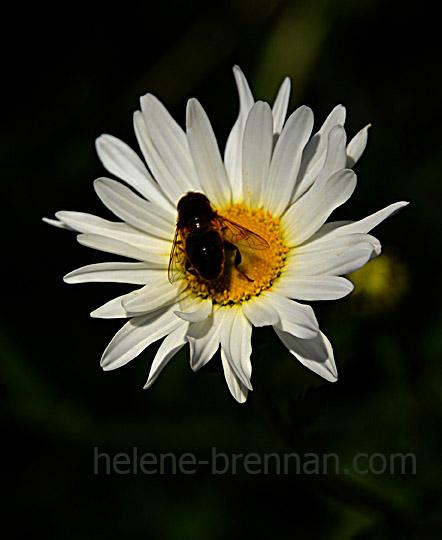 DSC_3887 daisy and bee 2
