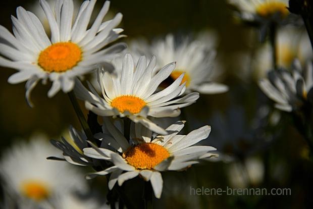 DSC_3890 daisies 2