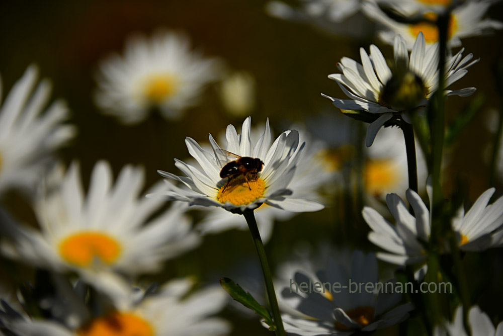 DSC_3891 daisies and bee 2