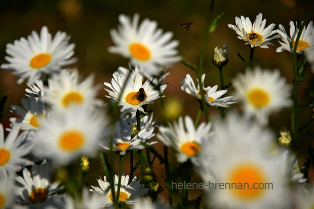 DSC_3923 daisies and bee 2