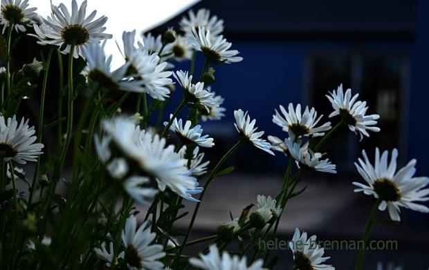 DSC_3932 daisies 2