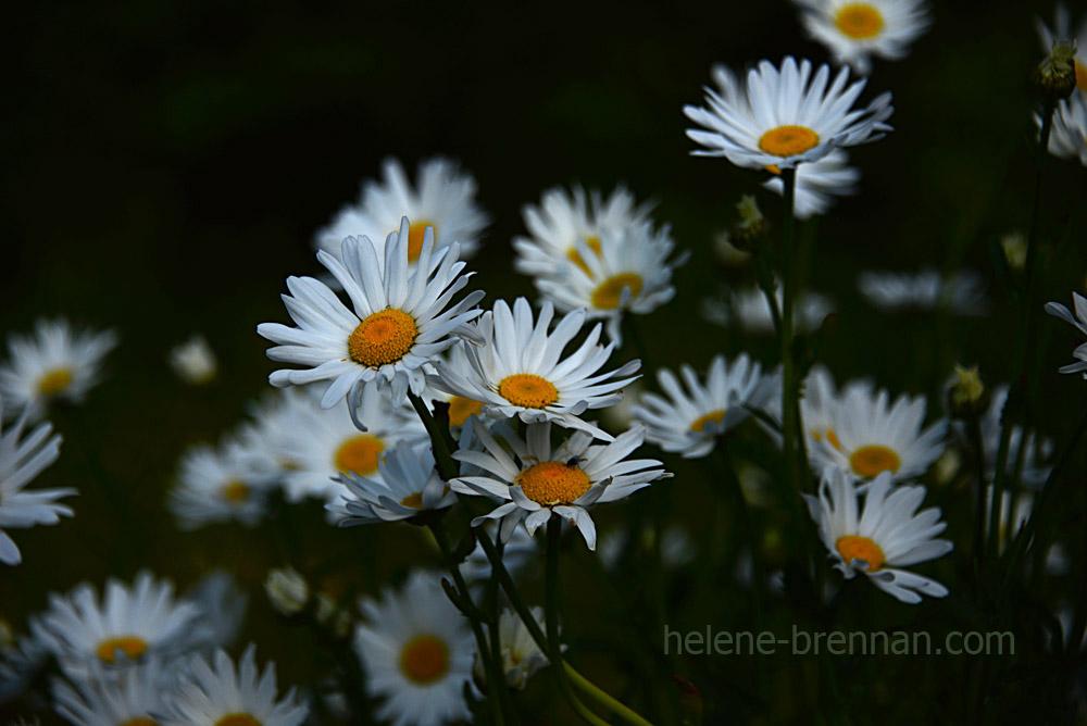 DSC_3936 daisies 2