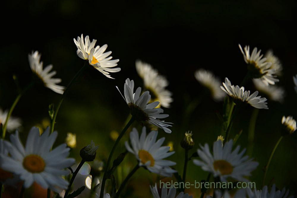 DSC_3941 daisies 2