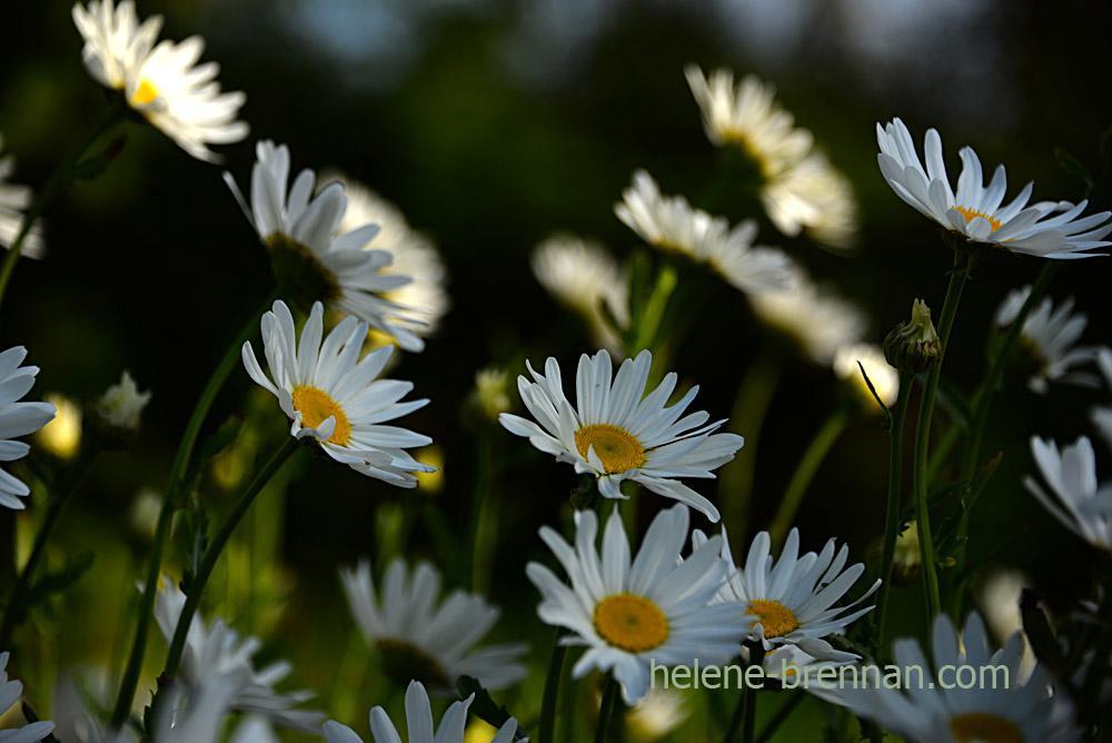 DSC_3944 daisies 2