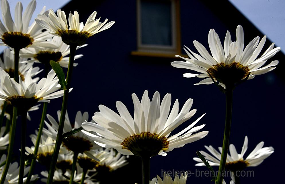 DSC_3992 daisies 2