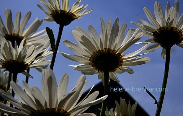 DSC_3993 daisies