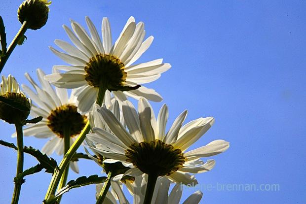 DSC_4002 daisies