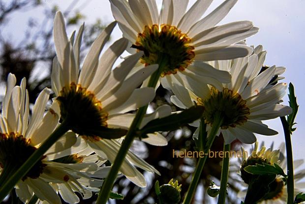DSC_4005 daisies
